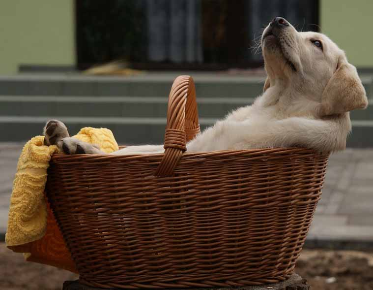 labrador retriever puppy in the basket