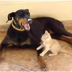 doberman clarice plays with kitten