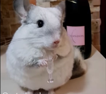12 - chinchilla ready to party