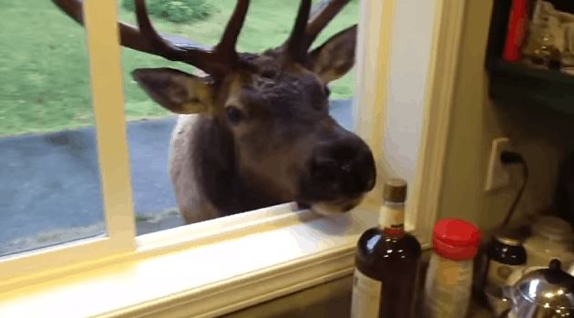 Surprise Elk Visitor!