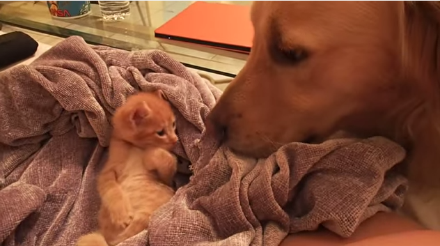 Golden retriever checking on the baby kitten video
