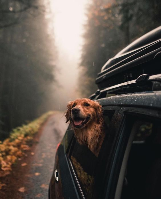 golden retriever car ride smile