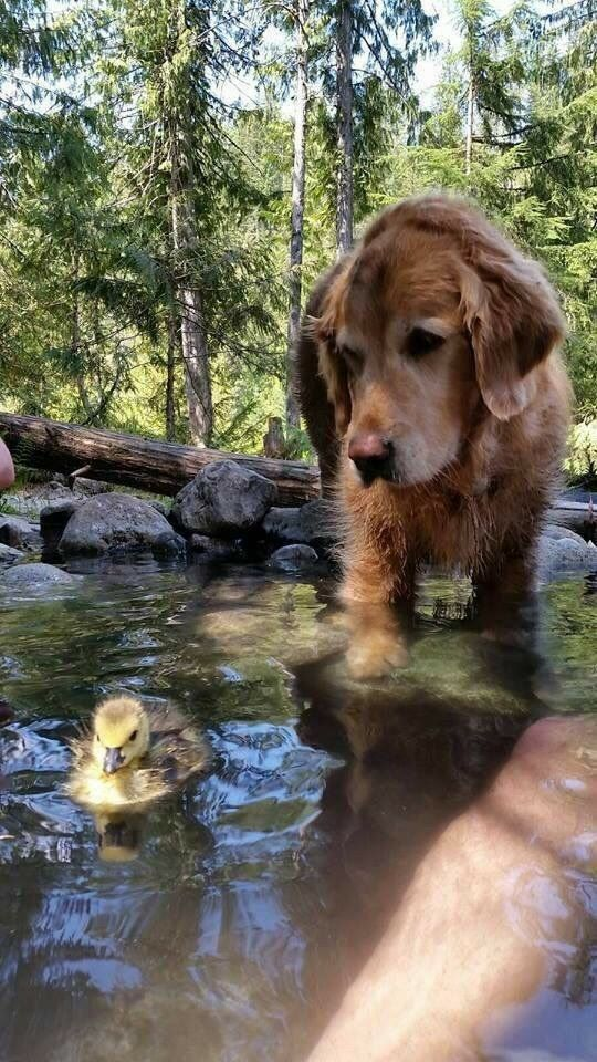 golden retriever with duckling friend