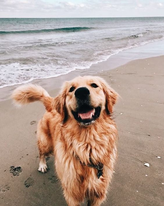 golden retriever beach smiling