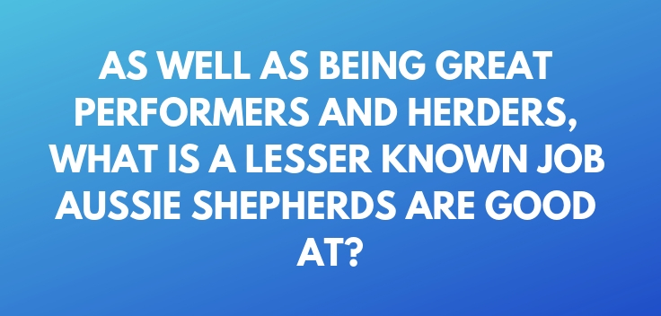 As well as being great performers and herders, what is a lesser known job Aussie Shepherds are good at