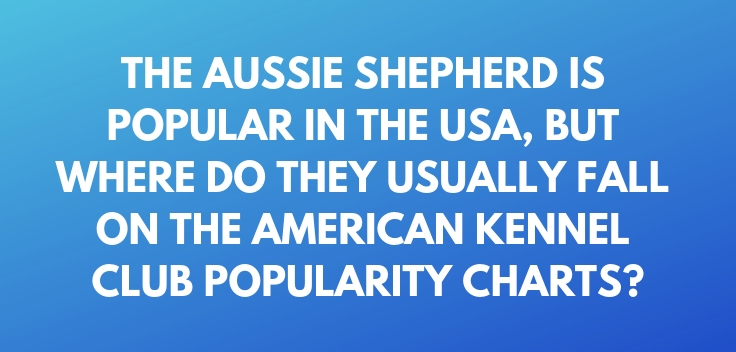 The Aussie Shepherd is popular in the USA, but where do they usually fall on the American Kennel Club popularity charts