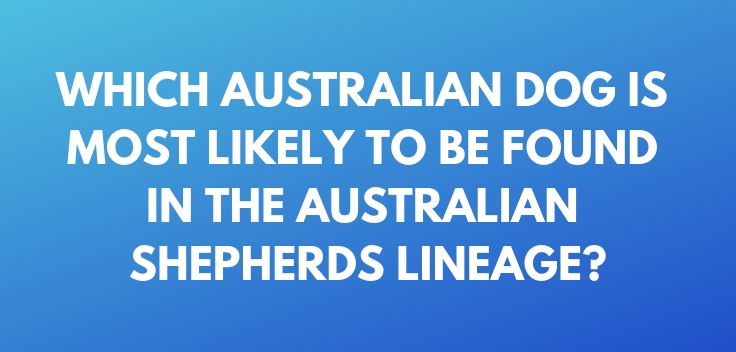 Which Australian dog is most likely to be found in the Australian Shepherds lineage