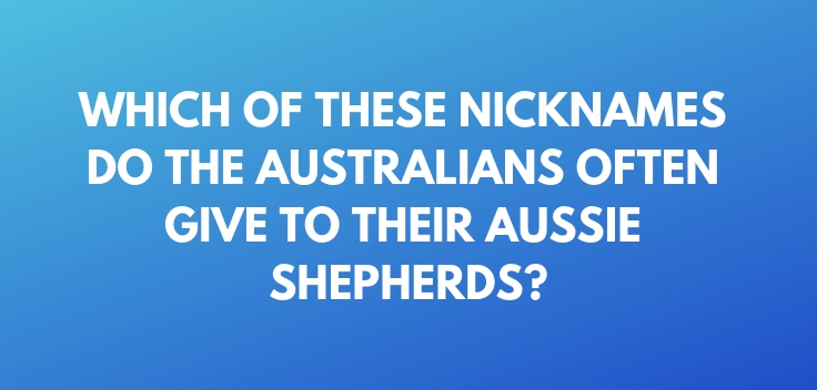 Which of these nicknames do the Australians often give to their Aussie Shepherds
