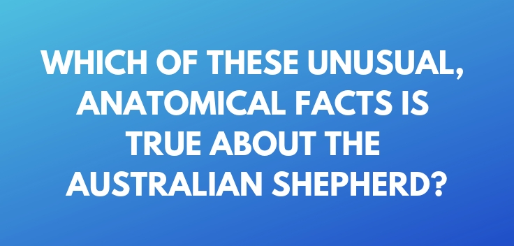 Which of these unusual, anatomical facts is true about the Australian Shepherd